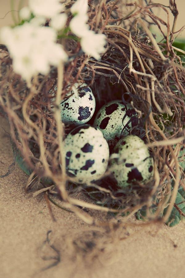 tappning för äggredequail fotografering för bildbyråer