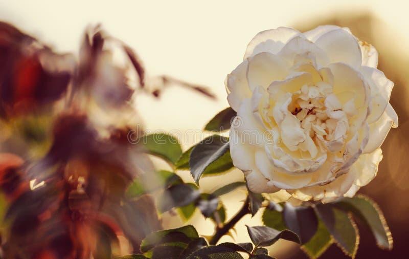 Tappning för den vita blomman steg tända blom- kronblad för blom för skönhet för closeupen för makroen för blomningen för bakgrun royaltyfria foton