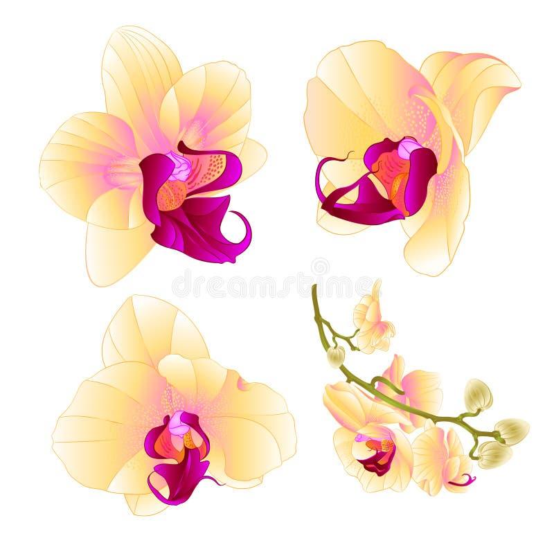 Tappning för uppsättning tre för closeup för blomma för gul orkidéPhalaenopsis härlig på vit en redigerbar bakgrundsvektorillustr royaltyfri illustrationer