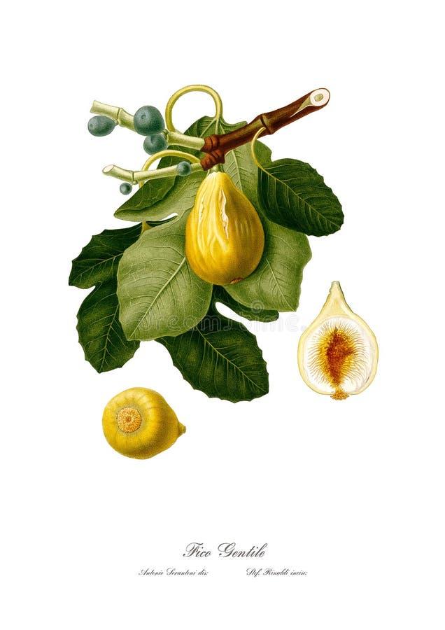 Tappningakvarellfilial av fikonträd som drar konst royaltyfri illustrationer