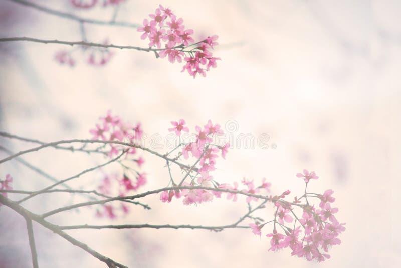 Tappningbakgrund för körsbärsröd blomning fotografering för bildbyråer