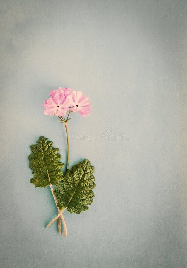 Tappningbakgrund med den rosa primulan arkivfoto