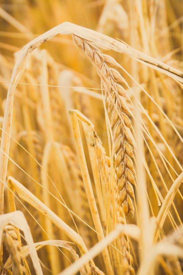 Tappningfoto, öron av vete eller råg som är klar för skörd, lantbruk och lantligt begrepp arkivbild