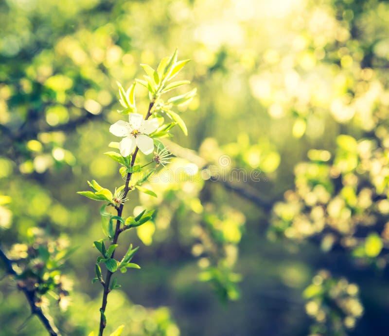 Tappningfoto av det blommande körsbärsröda trädet royaltyfria bilder