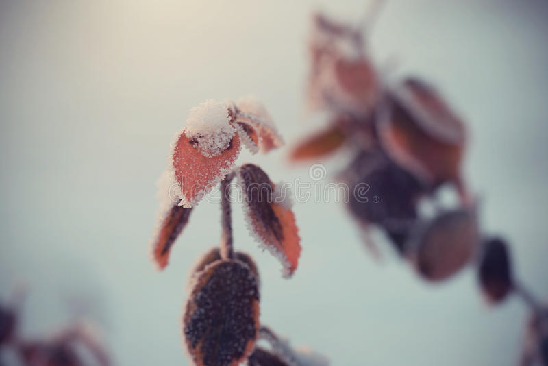 Tappningfoto av en frostad växtfilial royaltyfria bilder