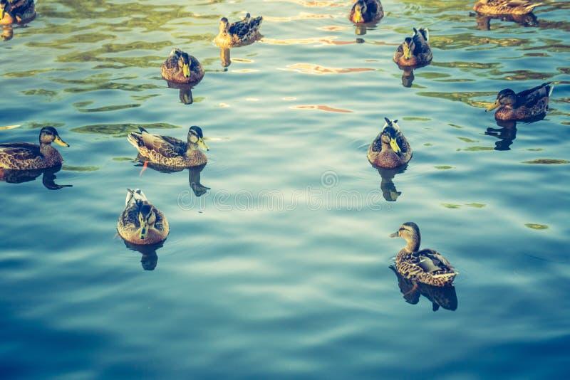 Tappningfoto av flocken av lösa änder som simmar i det lilla dammet royaltyfri bild