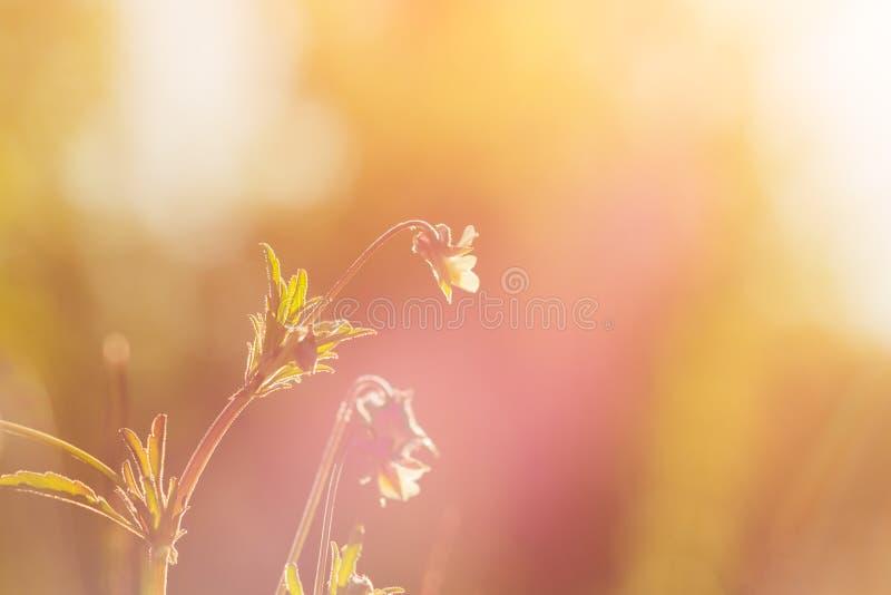 Tappningfoto av härliga purpurfärgade lösa blommor i solnedgång royaltyfria foton