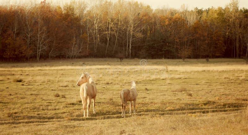 Tappningfoto av hästar arkivbild