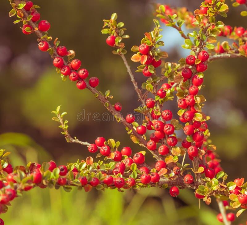 Tappningfoto av röda bär, brun kvist med röda bär arkivfoto