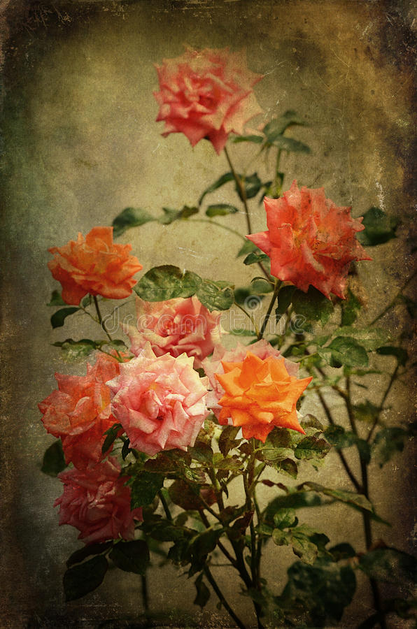 Tappningfoto av rosor royaltyfria foton