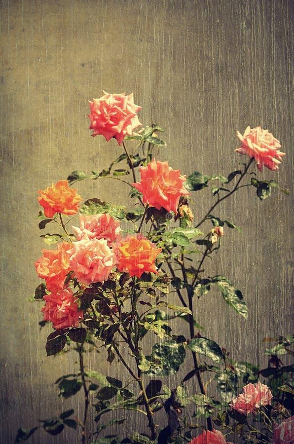 Tappningfoto av rosor arkivbild