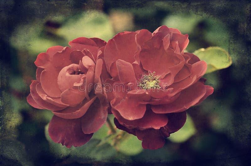 Tappningfoto av rosor royaltyfria bilder