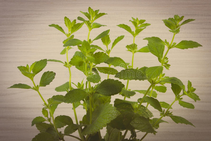 Tappningfoto, ny sund citronbalsam, träbakgrund, herbalism fotografering för bildbyråer