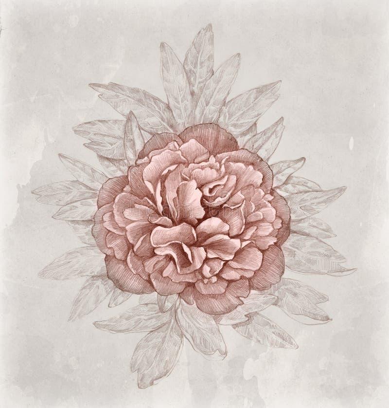 Tappningillustration av pionblomman royaltyfri illustrationer