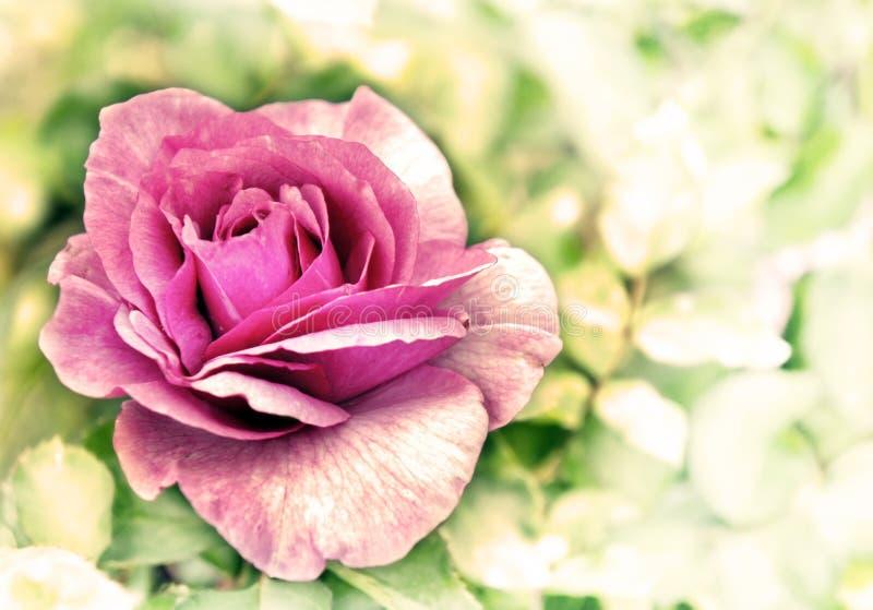 Tappningkortet med rosa färgblommor steg över bokehbakgrunden royaltyfria bilder