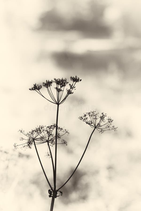 Tappningparaplyväxt (hemlock). arkivbild