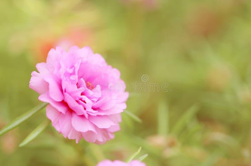 Tappningrosa färgblomma för bakgrund royaltyfri bild