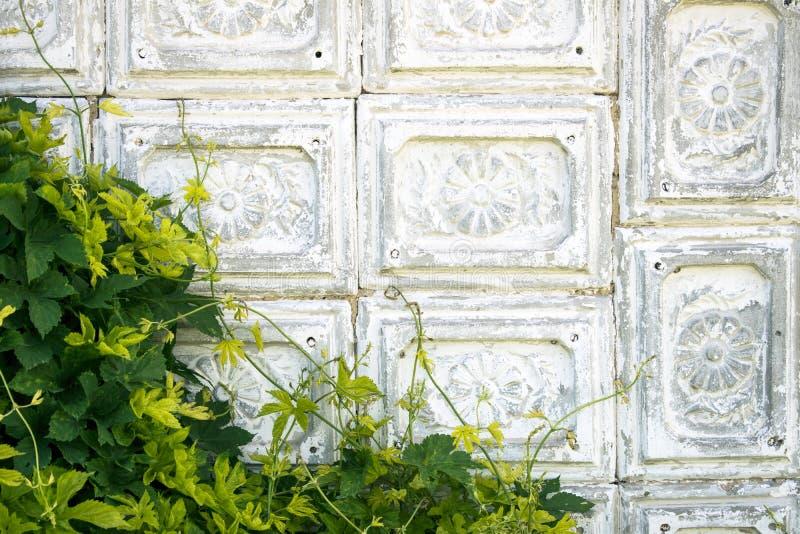 Tappningvägg av den gammalmodiga grå färg-vit för cement som tegelplattan täckas med den gröna lösa druvan fotografering för bildbyråer