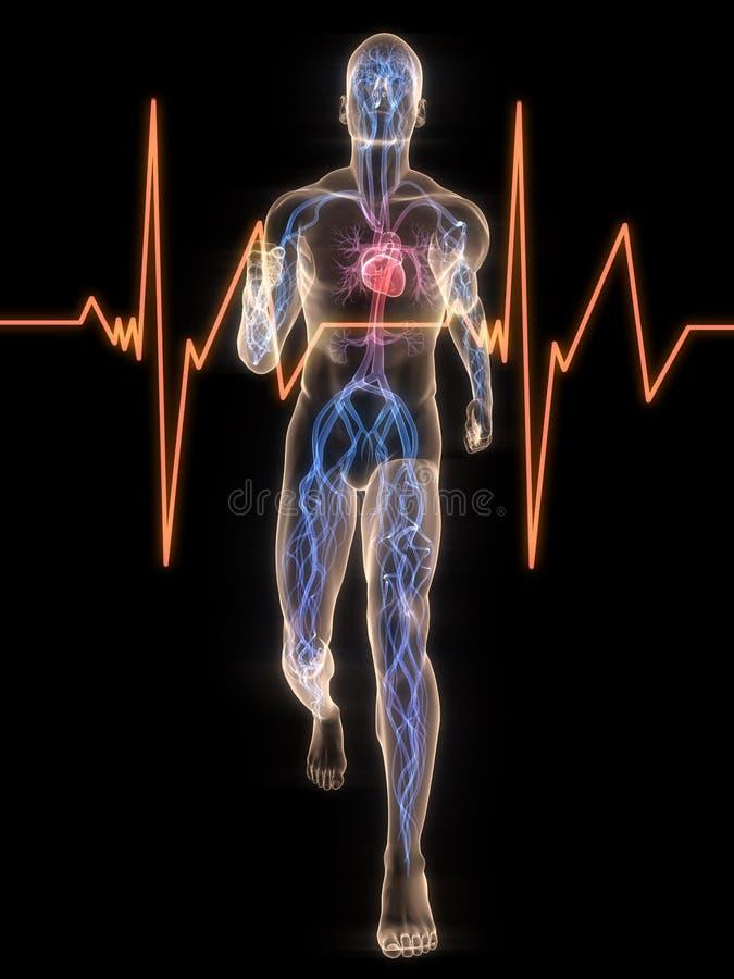 Taqueuse - système vasculaire illustration de vecteur