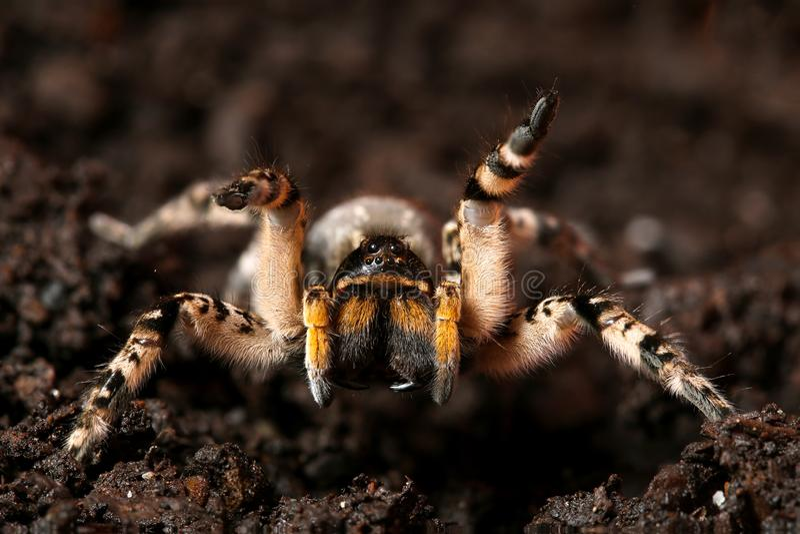 Tarántula espeluznante peligrosa de la araña de lobo lista para atacar foto de archivo