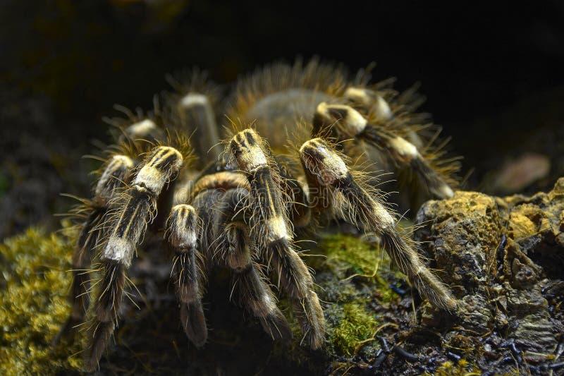 Tarántula - parahybana de Lasiodora fotografía de archivo