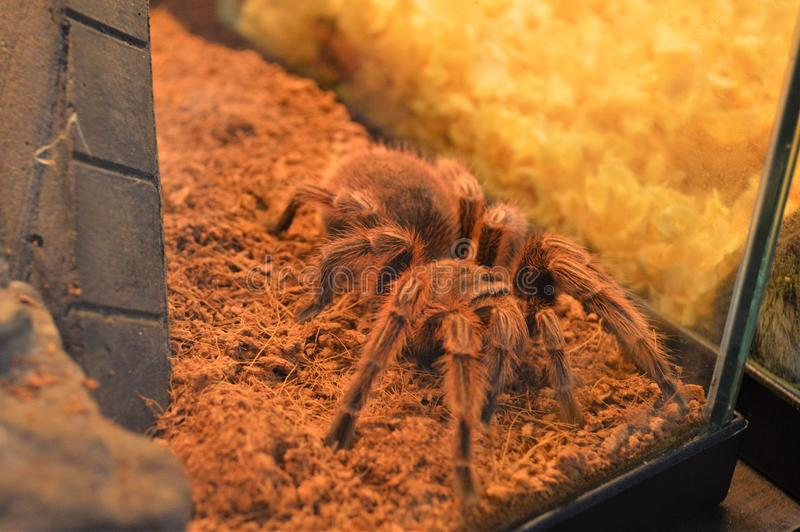 Tarântula bonita da aranha de Avicularia Minatrix no terarium fotografia de stock royalty free
