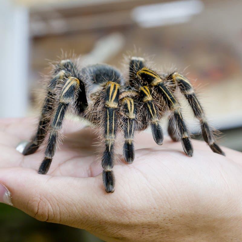 Tarântula mexicana do redknee (smithi) de Brachypelma, fêmea da aranha dentro imagens de stock