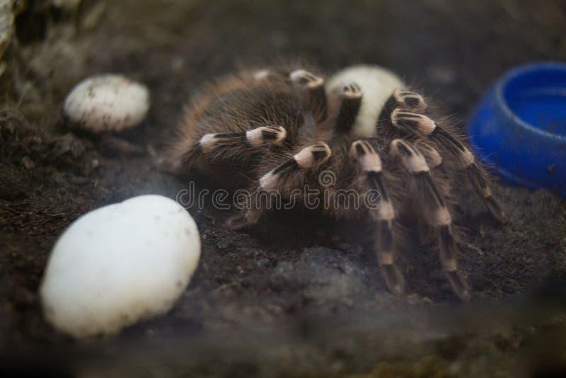 Tarântula predatório da aranha em um terrarium do jardim zoológico fotos de stock