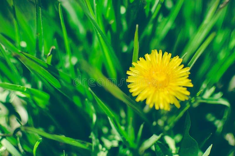 Tarà ¡ xacum officinà ¡ le, Dandelion Leczniczy, Dandelion kolor żółty w trawie fotografia royalty free