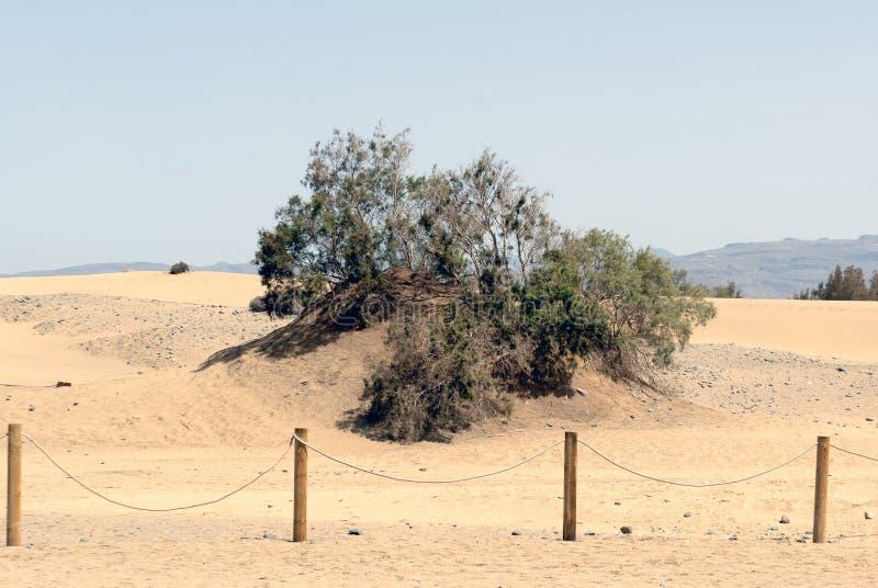Tarajal (canariensis do Tamarix) nas dunas de Maspalomas imagem de stock royalty free
