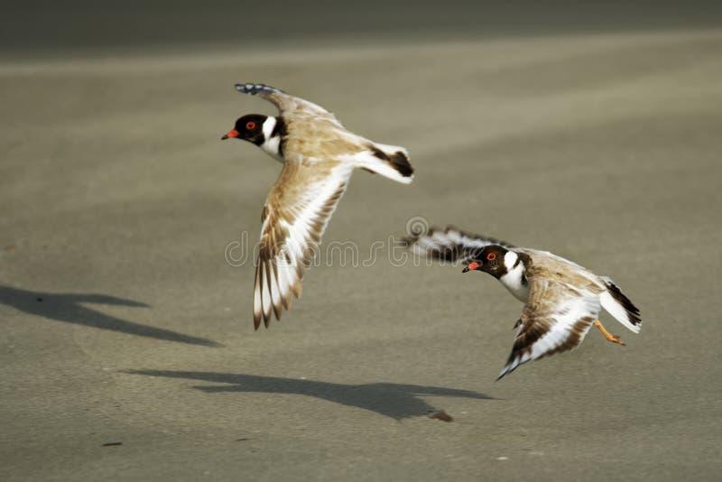 Tarambola encapuçado - shorebird pequeno do cucullatus de Thinornis - pernalta - no Sandy Beach de Austrália, Tasmânia imagem de stock