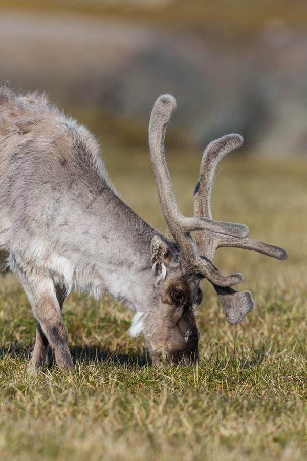 Tarandus de rangifer de renne du Svalbard de portrait de vue de côté platyrhy photos libres de droits