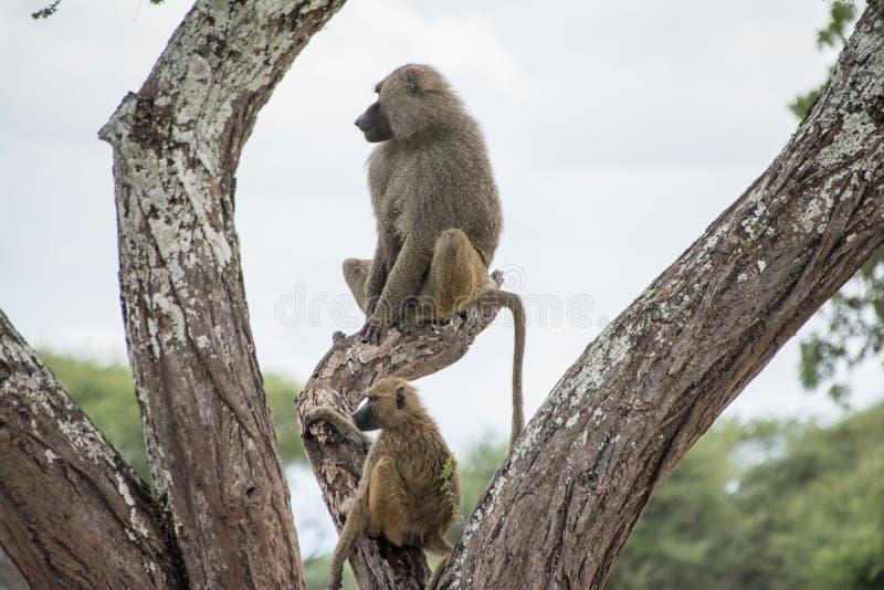 Tarangire Nationaal Park, Tanzania - Bavianen royalty-vrije stock afbeeldingen