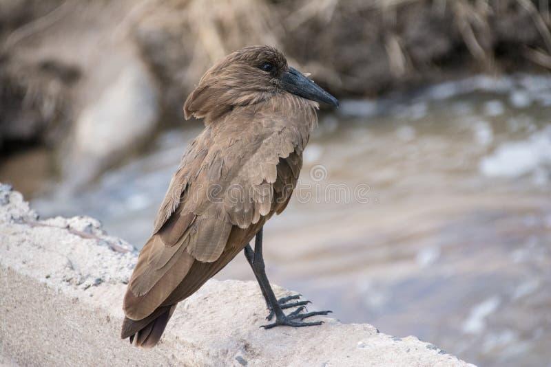 Tarangire Nationaal Park, Tanzania - Hammerkopf royalty-vrije stock fotografie