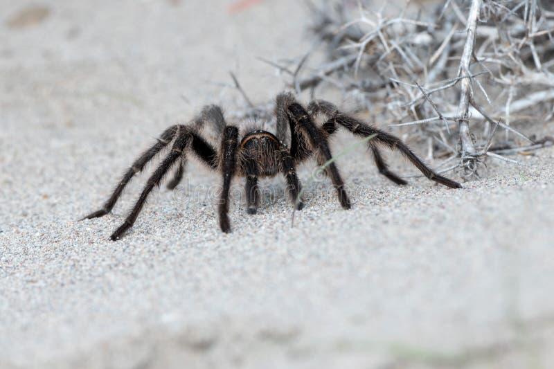 Tarantel-Spinnenabschluß auf dem Sandhintergrund stockbilder
