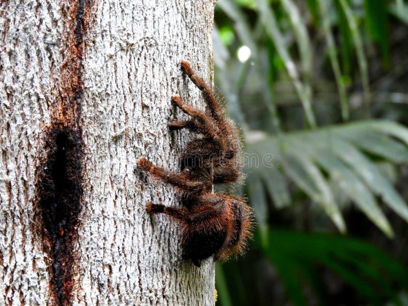 Tarantola nella foresta pluviale Amazzonica (Ecuador) fotografia stock libera da diritti