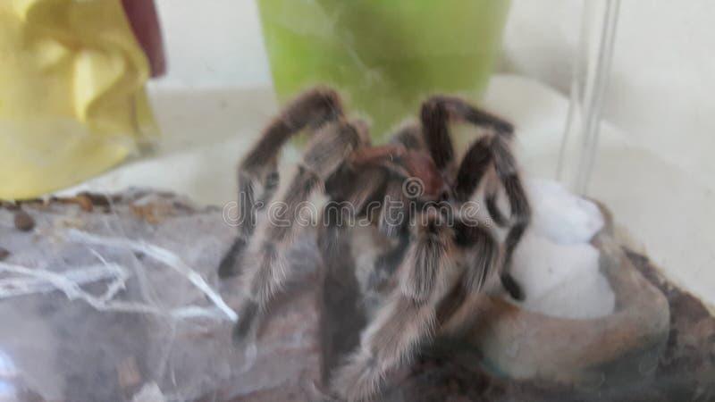 Tarantula από τη Χιλή στοκ εικόνες