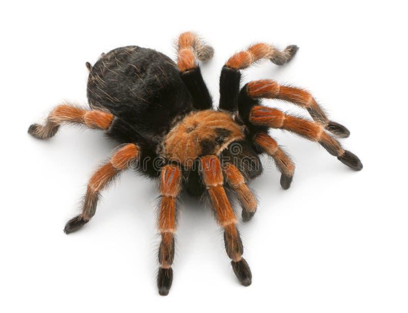 tarantula αραχνών brachypelma boehmei στοκ εικόνες