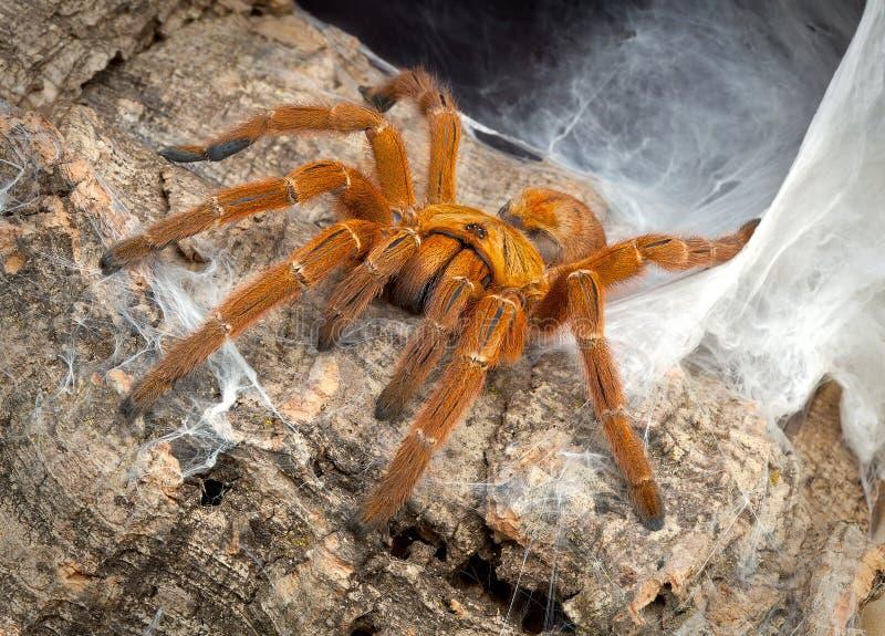 tarantula вертепа стоковая фотография