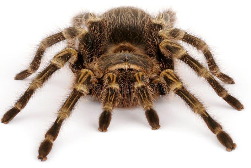 tarantula колена chaco золотистый стоковые фото
