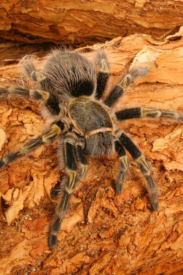 tarantula колена chaco золотистый стоковая фотография