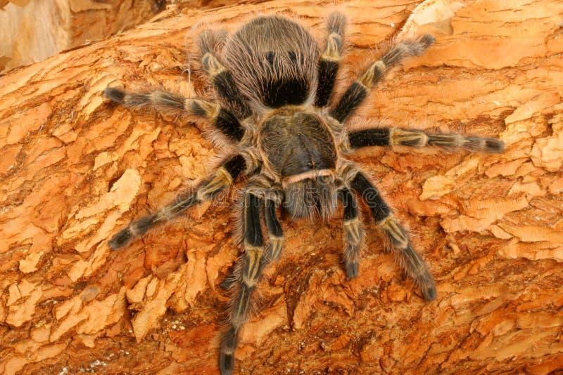 tarantula колена chaco золотистый стоковые изображения rf