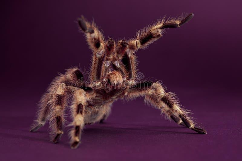 tarantula короля стоковое изображение rf