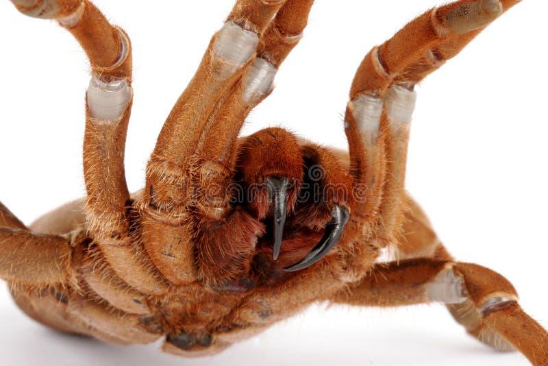 tarantula короля crawshayi citharischius павиана стоковое изображение