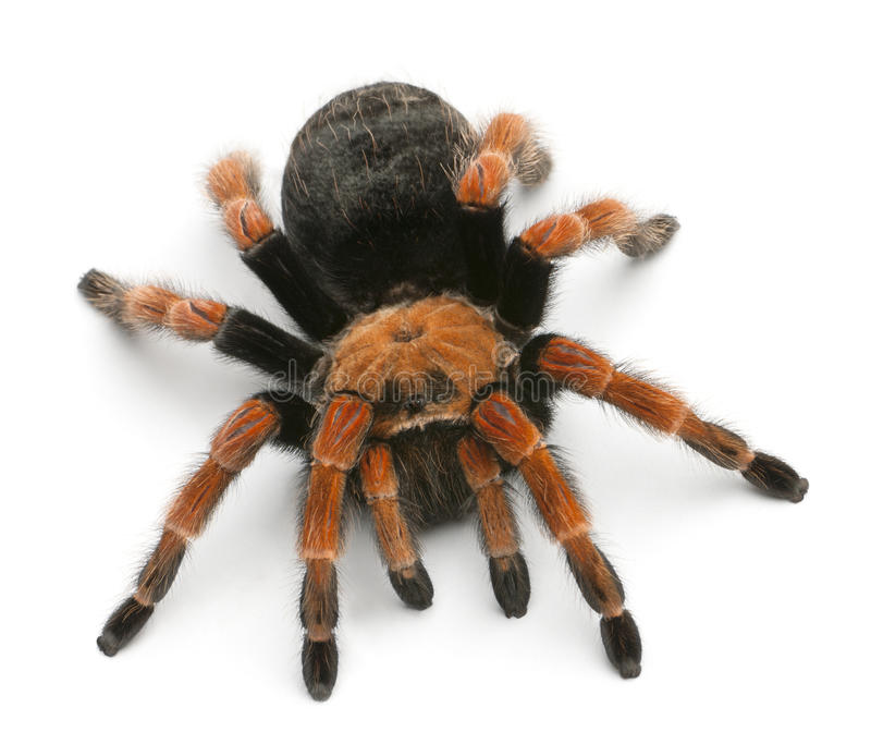 tarantula спайдера brachypelma boehmei стоковая фотография rf