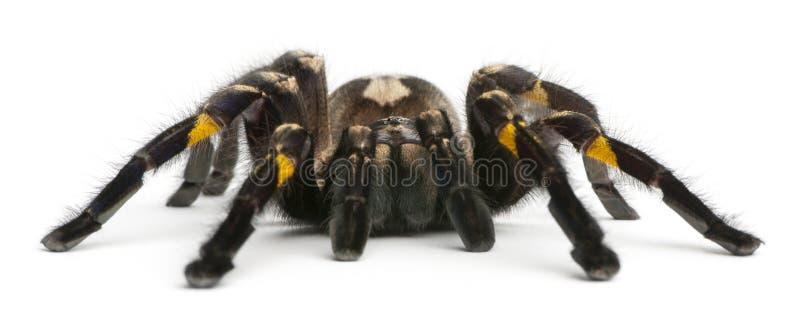 tarantula спайдера poecilotheria metallica стоковые фото
