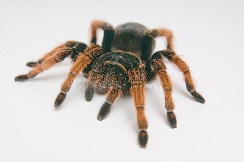 tarantula фокуса головной kneed мексиканский красный стоковые изображения rf