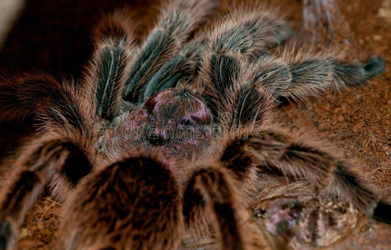 tarantula чилийки розовый стоковое изображение
