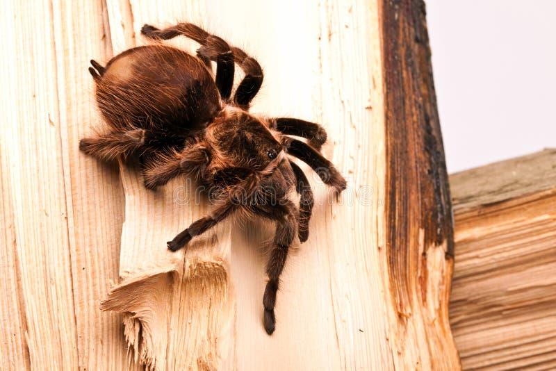Tarantula lizenzfreie stockbilder