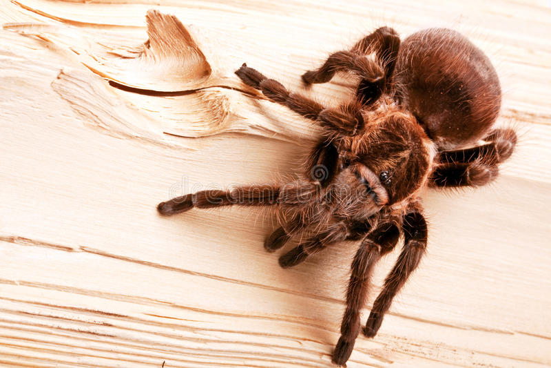 Tarantula stockfotografie